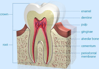 Tooth structure – amazing design for function